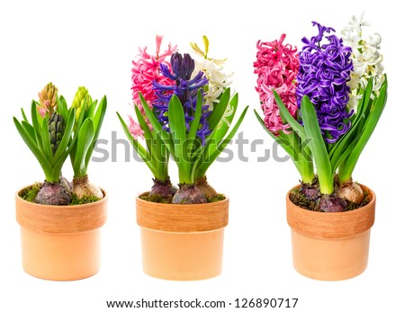 fresh hyacinth flowers on white background. pink, blue and white hyacinth in pot - stock photo