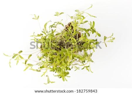 Fresh Kikuna Cress - stock photo