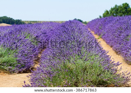 fresh Lavender field rows with summer blue sky close up, France - stock photo