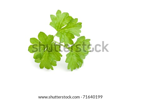 Fresh leaf herb parsley isolated on white - stock photo