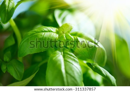 Fresh Leaves of Basil close up. Fresh flavoring growing outdoor. Green basil leaves in sunlight. Fresh Condiment concept. Food ingredients  - stock photo