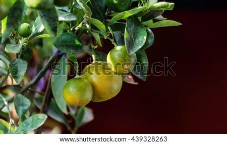 Fresh lemon on the tree  - stock photo