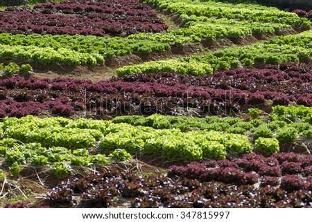 Fresh lettuce growing in Vegetable garden - stock photo