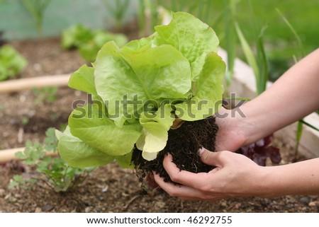 Fresh lettuce in the garden - stock photo