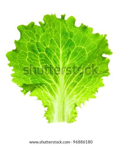 Fresh Lettuce / one leaf isolated on white background / close-up - stock photo