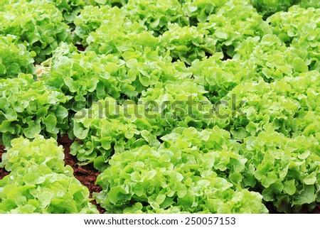 Fresh lettuce vegetable farm in Thailand - stock photo