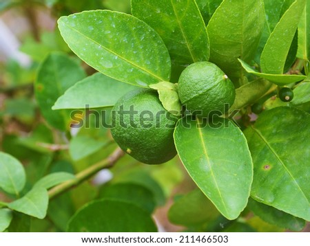 fresh limes on lime tree - stock photo