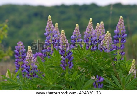 Fresh lupine close up blooming in spring. High lush purple lupine flowers, summer meadow. Blossoming lupines in foreground. Horizontal image with copy space.  - stock photo