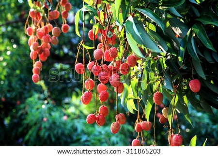 Fresh Lychee (Lichi) in orchard of Northern thailand. - stock photo