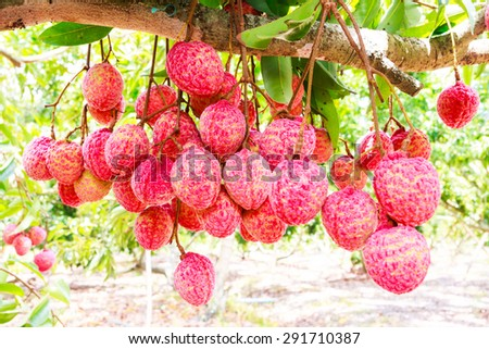 fresh lychee on tree in lychee orchard - stock photo