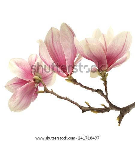 fresh magnolia  - stock photo