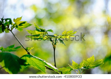 Fresh maple leaf in green forest with defocused background - stock photo