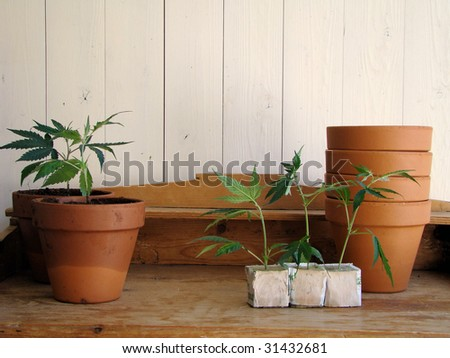 fresh Marijuana plants/the process of homegrowing weed - stock photo