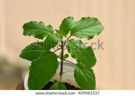 Fresh medicinal Indian holy basil / Tulasi/ tulsi plant in fertile soil with organic fertilizer Kerala, India. Indian herb. herbal Tulsi tea for cold, cough. Ayurveda, Hindus worship, Thai holy basil  - stock photo