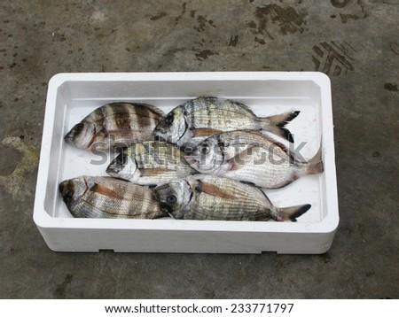 Fresh Mediterranean Two-banded sea-bream,polystyrene box - stock photo