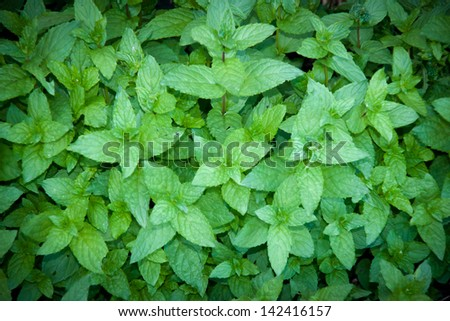 fresh mint - stock photo