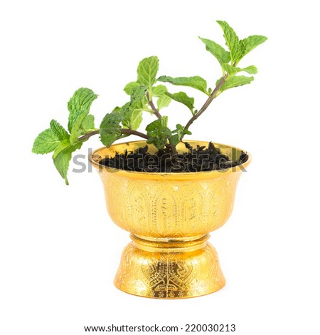 Fresh mint herb in pot. - stock photo