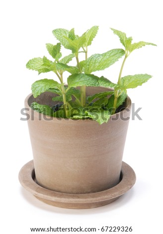 Fresh mint herb on a pot over white - stock photo