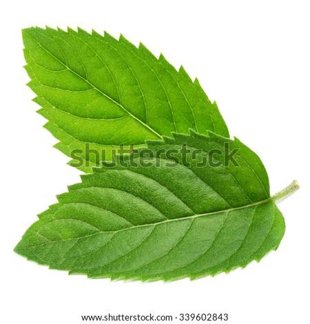 fresh mint leaves isolated on white background. Studio macro - stock photo