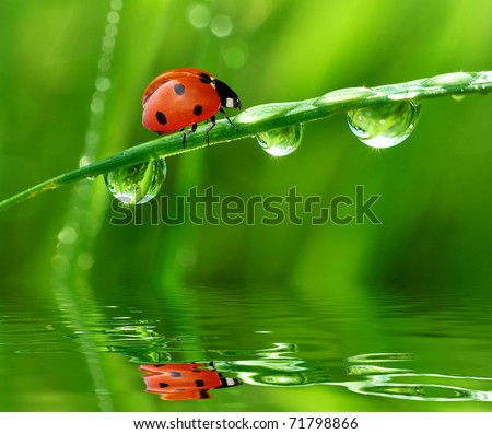 fresh morning dew and ladybird - stock photo