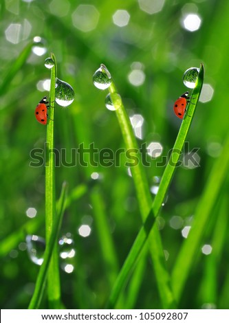 Fresh morning dew on a spring grass and little ladybugs - stock photo