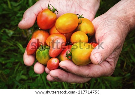 fresh multicolored tomatoes in the hands - stock photo