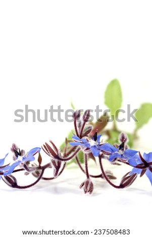 fresh natural blue Borage on a light background - stock photo