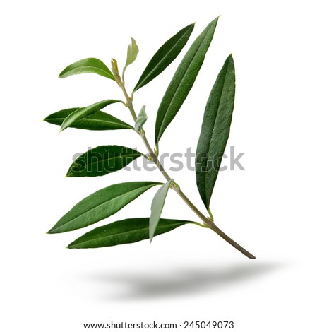 Fresh olive tree branch green leaves isolated on white background - stock photo