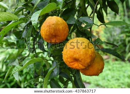 fresh orange fruits on the tree, with morning dew drops - stock photo