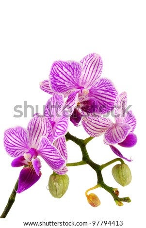 fresh orchid flower isolated on white - stock photo