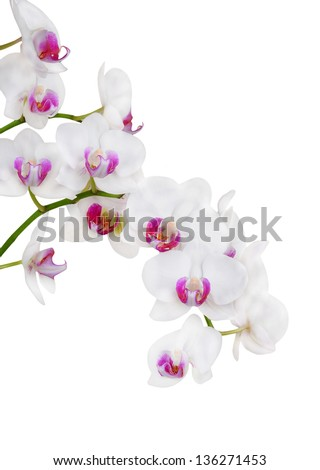 Fresh orchid flower, isolated on white background - stock photo
