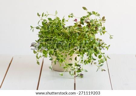 fresh oregano in flowerpot on white vintage wooden background - stock photo