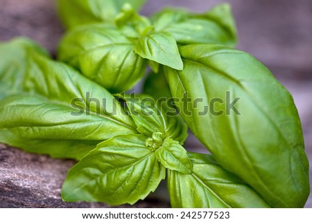 Fresh organic basil leaves on a wooden table - stock photo
