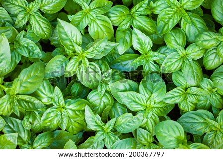 Fresh organic basilic leaves. - stock photo