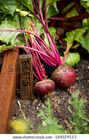 Fresh organic beets just picked from the garden shot in a garden box next to a sign that reads beets. - stock photo