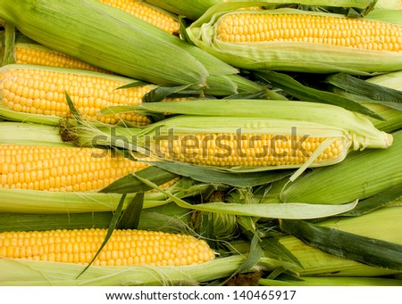Fresh organic corn - stock photo