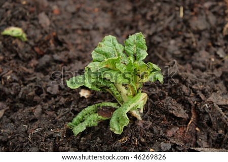 Fresh organic lettuce sprouting from the ground - stock photo