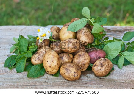 Fresh organic potatoes with leaves on a wooden background - stock photo