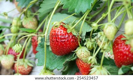 fresh organic strawberries growing on the vine - stock photo