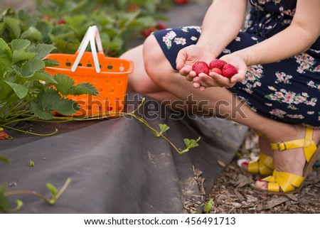 Fresh organic strawberry in woman's hands. Girl picking berries. Summer harvest in the garden. Healthy food concept - stock photo