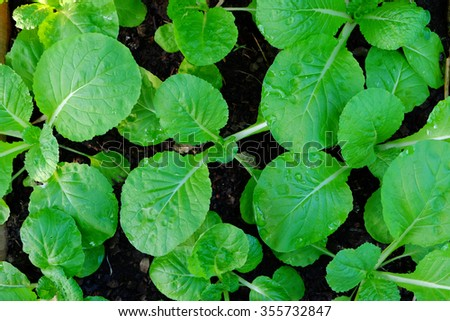 Fresh organic young green lettuce growing on vegetable bed - stock photo