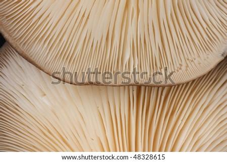 fresh oyster mushrooms - stock photo