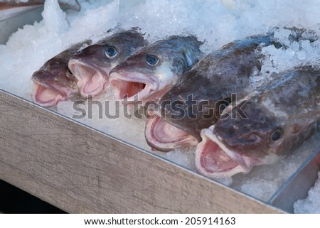 Fresh Pacific Cod. Fresh Pacific Cod sold right off the back of the fishboat.  - stock photo
