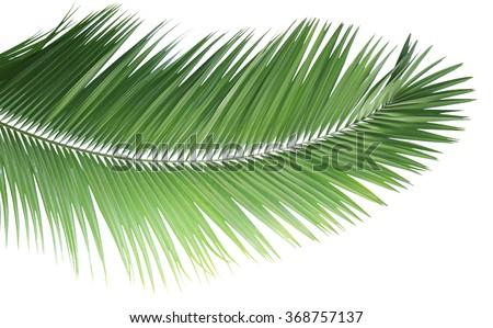 Fresh palm leaf isolated on white - stock photo