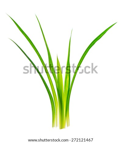 Fresh Pandan leaves isolated on white background, also known as Fragrant Pandan, Pandanus Palm,  Pandom wangi.(Pandanus amaryllifolius) - stock photo