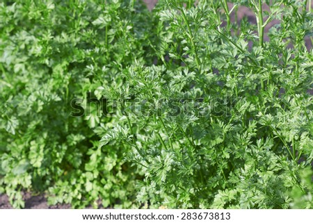 fresh parsley growing in a garden as background - stock photo