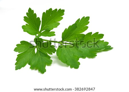Fresh parsley sprig isolated on white background - stock photo