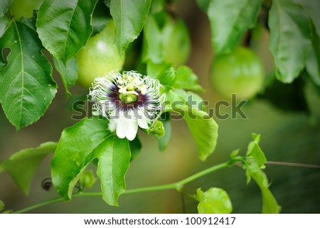 Fresh passion fruit in the garden - stock photo