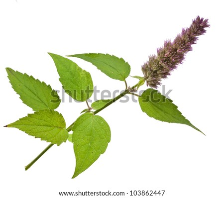 fresh peppermint herb and flowers - stock photo
