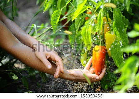 fresh peppers in the garden - stock photo